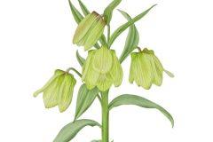 Fritillaria palliiflora