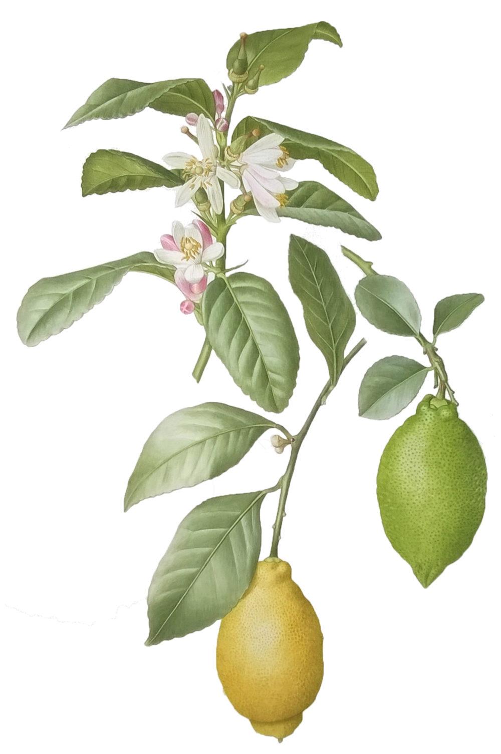 Lemon blossom and fruit