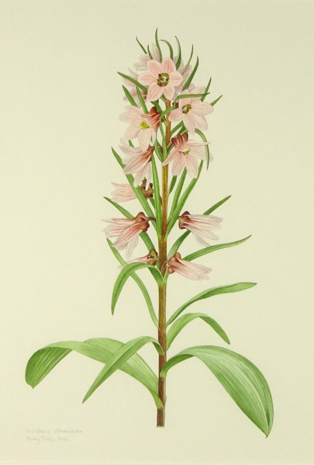 Fritillaria stenanthera