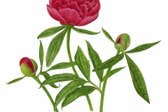 Paeonia officinalis 'Rubra-plena'