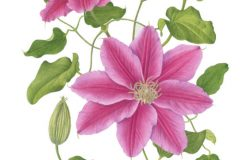 Clematis-Dr-Ruppel-card-scaled-e1603967354749