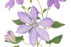 Clematis 'Mrs Chalmondeley'