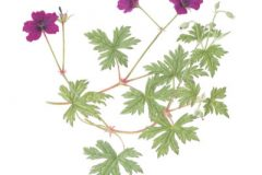 Geranium 'Anne Thompson'