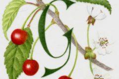G for Gean (wild cherry)