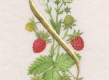 S for Strawberry, on vellum