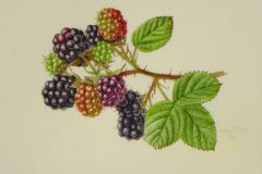 Blackberries on vellum