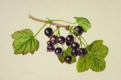 Blackcurrants on vellum