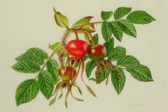 Rosa rugosa hips on vellum