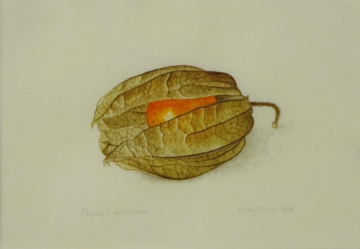 Physalis peruviana on goatskin vellum £90 Dimensions inc. frame  25.5 x 24.5 cm