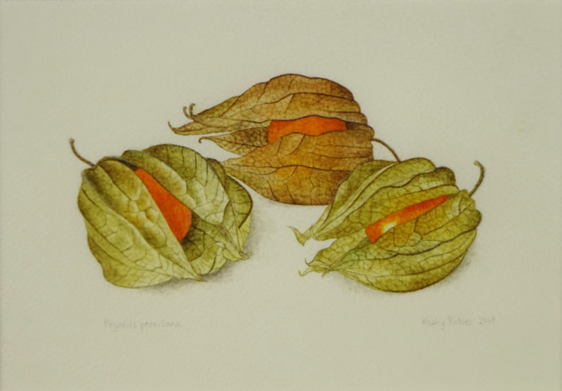Three Physalis peruviana fruits on calfskin vellum   £120 Dimensions inc. frame 28 x25.5 cm